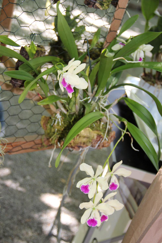 Cattleya-(3)