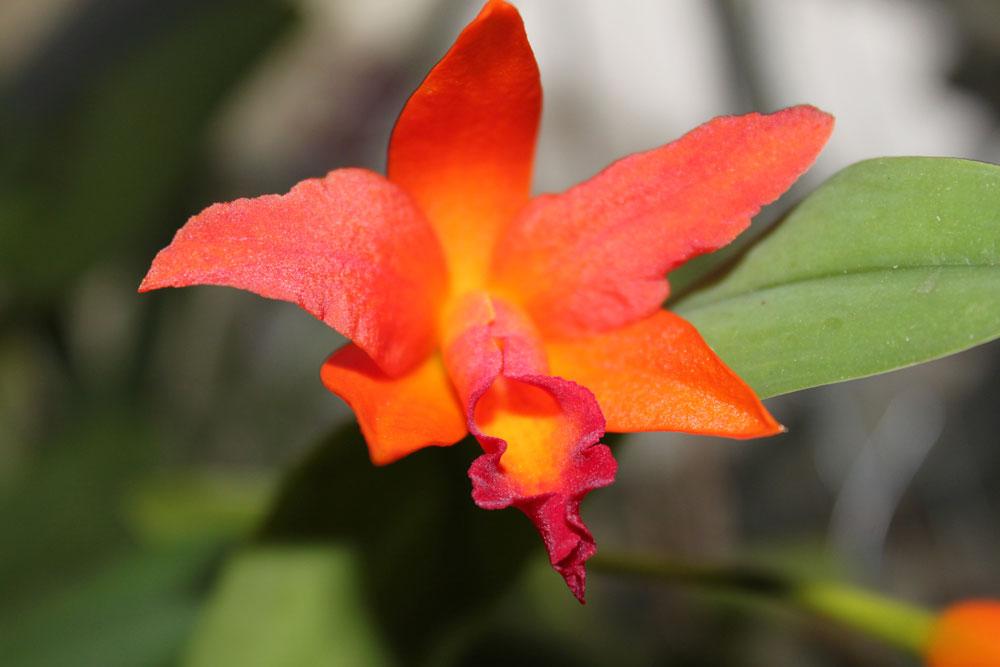 Cattleya-(7)
