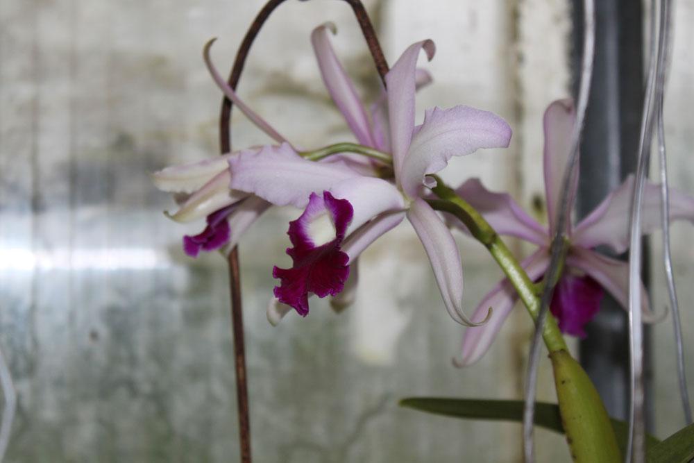 Cattleya-(8)