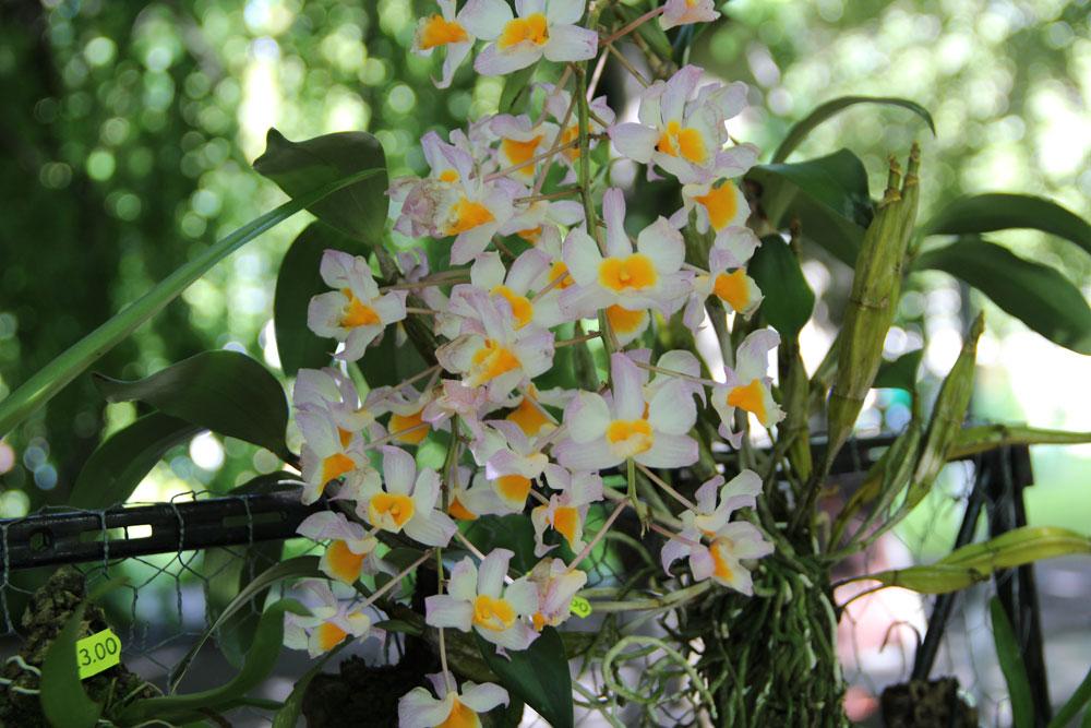 Dendrobium-(2)