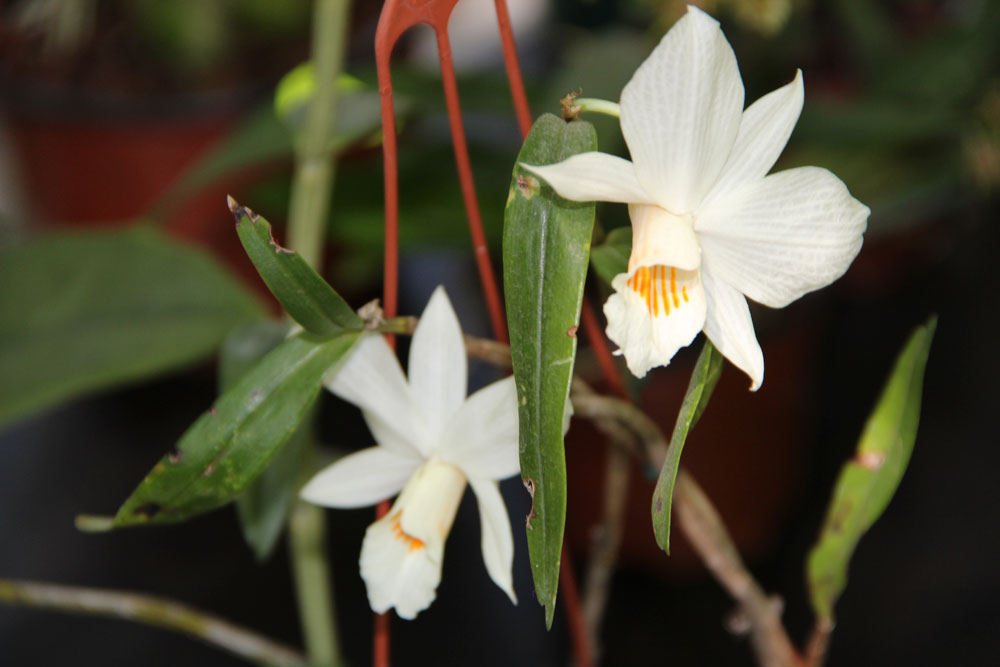 Dendrobium-(4)